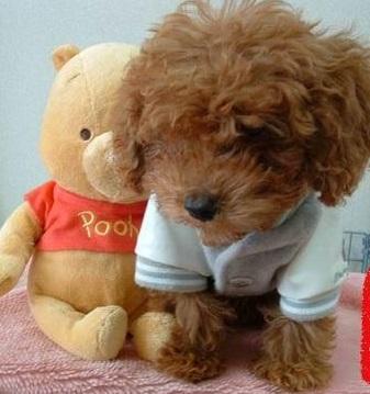 小泰迪怎么养,泰迪幼犬怎么养